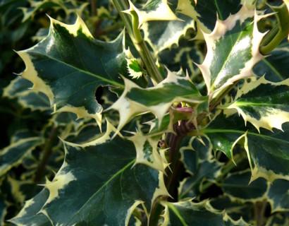 Ilex aquifolium 'Argentea Marginata' - scherpe hulst