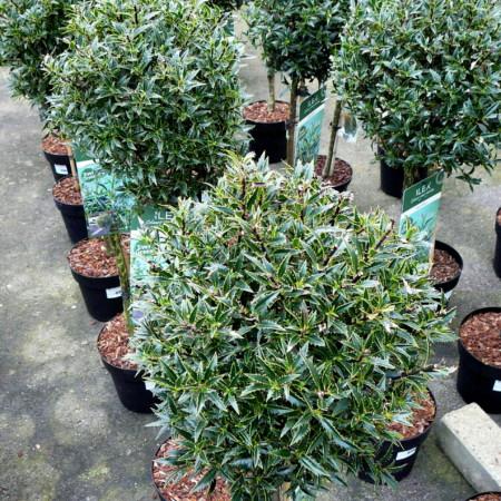 Ilex aquifolium 'Myrtifolia' - ananashulst
