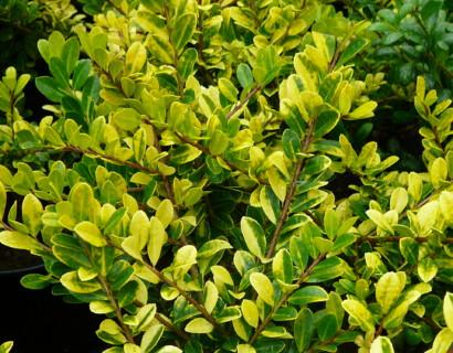 Ilex crenata 'Golden Gem' - Japanse hulst