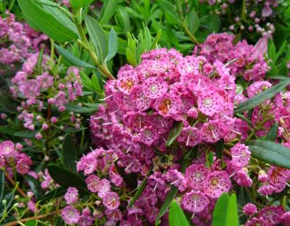 Kalmia angustifolia 'Rubra' - lepelstruik