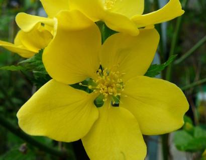 Kerria japonica 'Golden Guinea' - ranonkelstruik