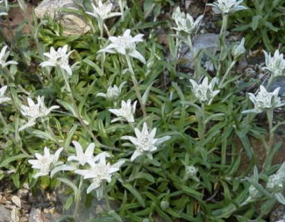 Leontopodium alpinum pot 2 liter - edelweiss