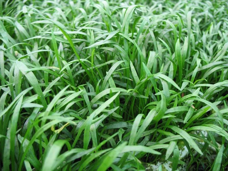 Lilaeopsis brasilensis - braziliaanse grasplant