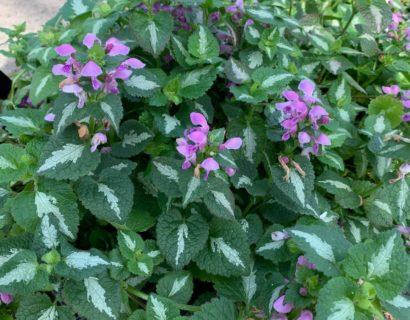 Lamium maculatum 'Roseum' - dovenetel / siernetel
