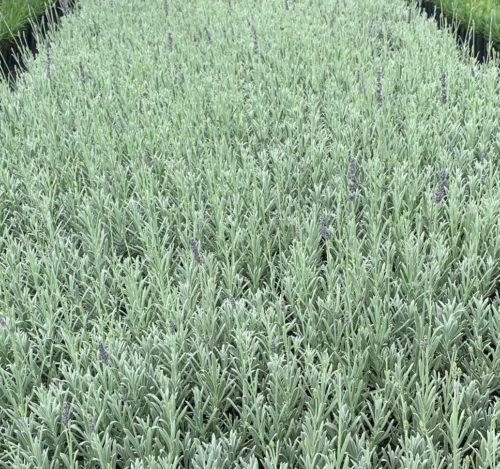 Lavandula angustifolia 'Silver Mist' - lavendel