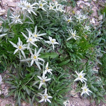 Leontopodium alpinum (grote pot) - edelweiss