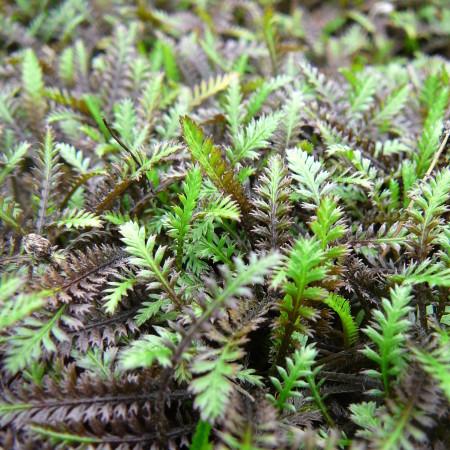 Leptinella potentillina 'Platt's Black' - speldenkussenplant