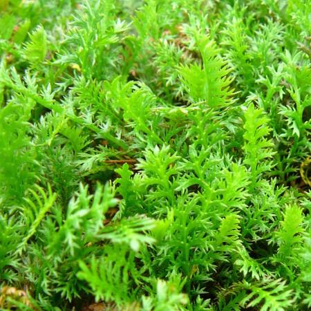 Leptinella squalida - speldenkussenplant