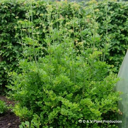 Levisticum officinalis - lavas
