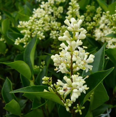 Ligustrum japonicum 'Korean Dwarf' - liguster