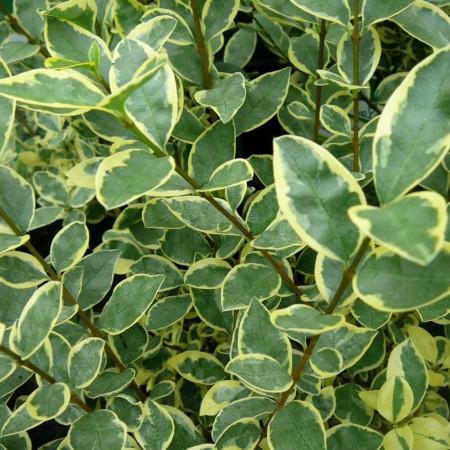 Ligustrum ovalifolium 'Argenteum' - witbonte liguster