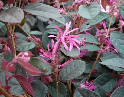 Loropetalum chinensis 'Fire Dance' - heksenstruik