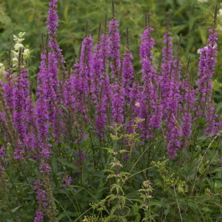 Lythrum salicaria 'Robert' - kattestaart