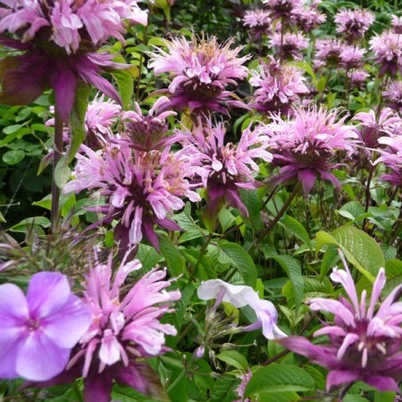 Monarda 'Beauty of Cobham' - bergamotplant
