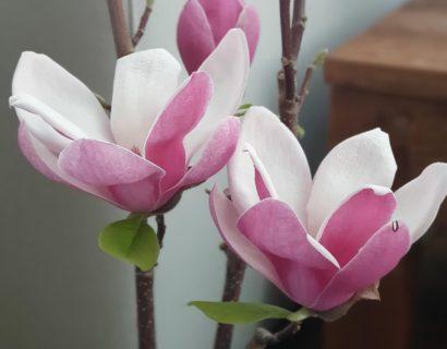 Magnolia 'Satisfaction' - beverboom