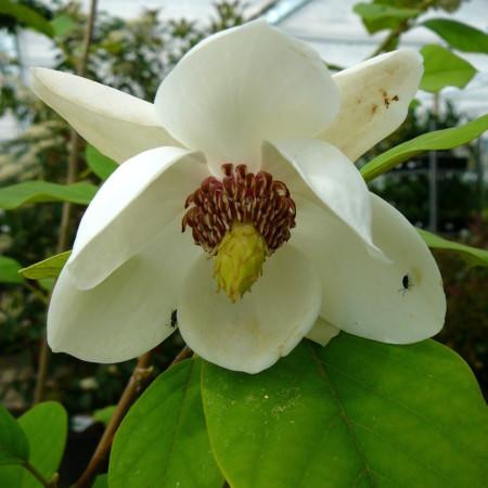 Magnolia sieboldii - beverboom