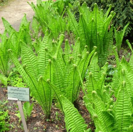Matteucia struthiopteris - bekervaren