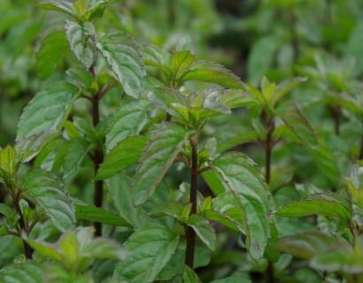 Mentha piperita f. citrata 'Basil'