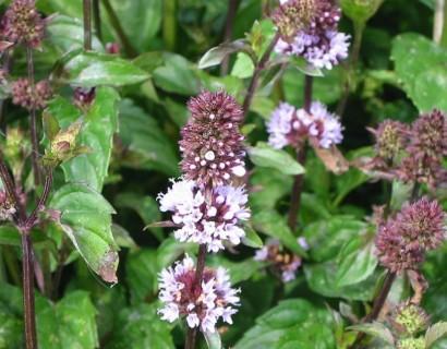 Mentha piperita f. citrata 'Chocolate'