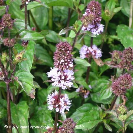 Mentha piperita f. citrata 'Chocolate' - chocolademunt