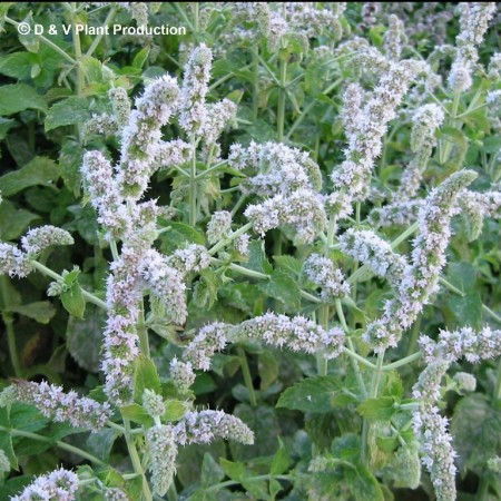 Mentha spicata 'English' - Engelse munt
