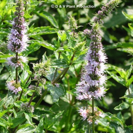 Mentha spicata - groene munt