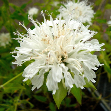 Monarda 'Schneewittchen' - bergamotplant