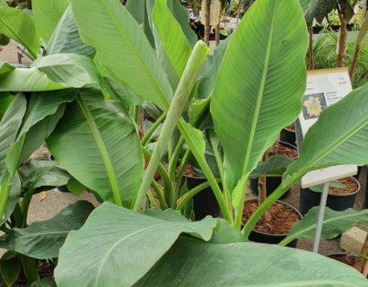 Musa basjoo - bananenplant