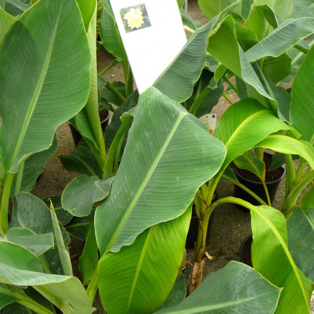 Musella lasiocarpa - bananenplant
