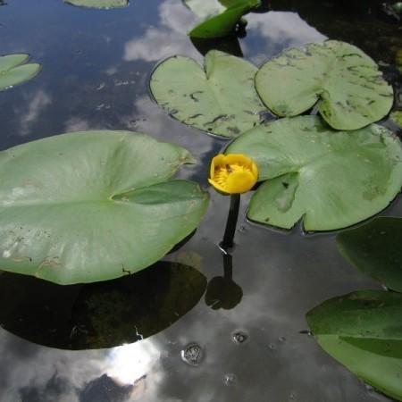 Nuphar 'Lutea' - waterlelie; geschikt voor middelgrote en grote vijvers