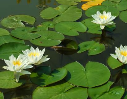 Nymphea 'Marliaca Albida' - waterlelie; geschikt voor middelgrote en grote vijvers