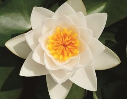 Nymphea 'Alba' - waterlelie