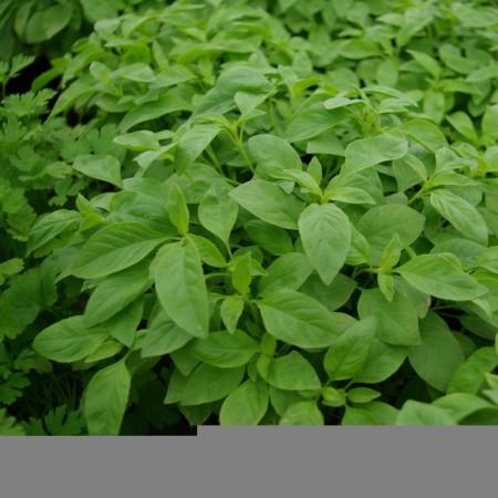 Citroenbasilicum - citroenbasilicum