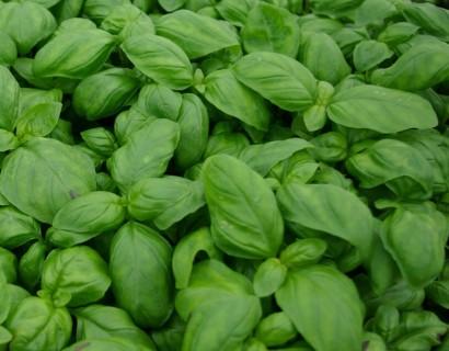 Basilicum pot 1.3 liter