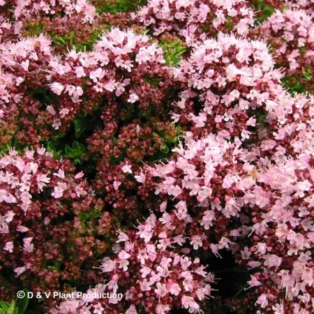 Origanum vulgare 'Compactum' - compacte oregano