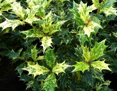 Osmanthus heterophyllus 'Goshiki' of 'Tricolor'
