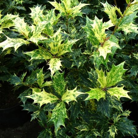 Osmanthus heterophyllus 'Goshiki' of 'Tricolor' - schijnhulst