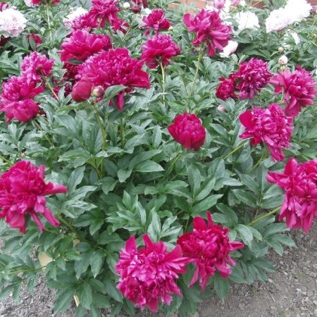 Paeonia lactiflora 'Karl Rosenfield' (grote pot) -