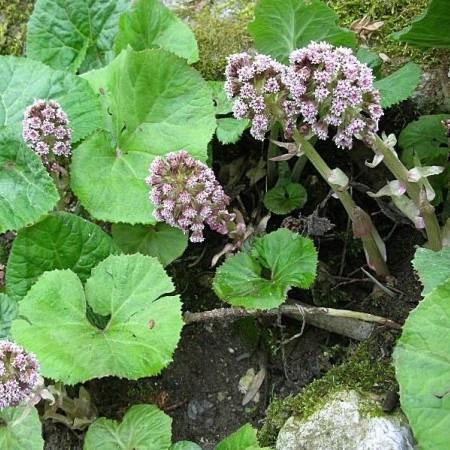 Petasites hybridus (grote pot) - groot hoefblad