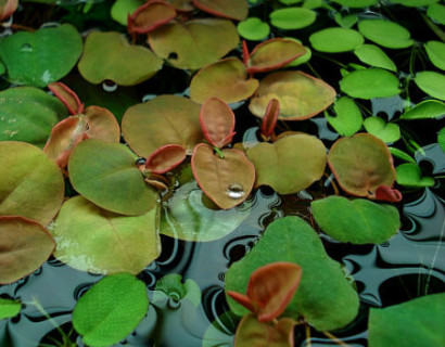 Phillanthus fusstans - bont rietgras