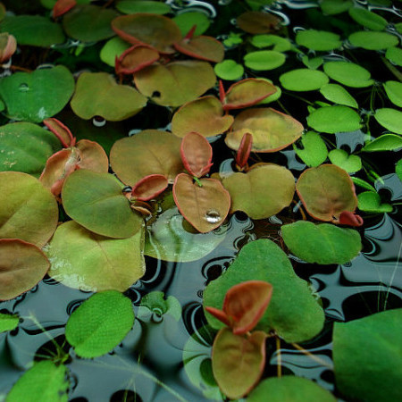 Phillanthus fusstans -