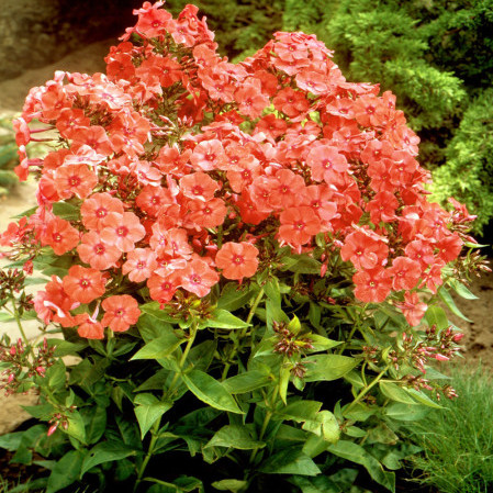Phlox paniculata 'Orange Perfection' - vlambloem