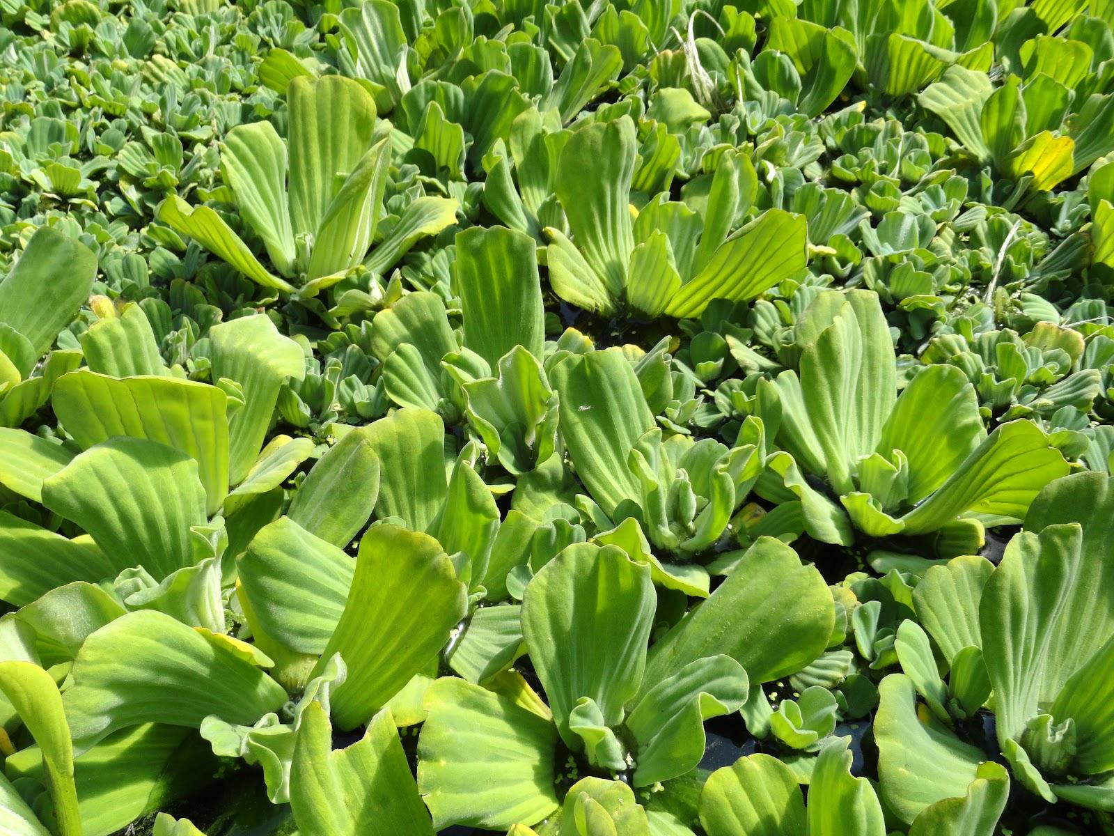 Pista stratiotes - mosselplant
