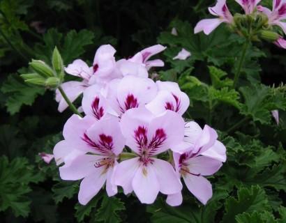 Pelargonium 'Citriodorum' - citroengeranium