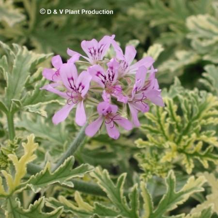 Pelargonium 'Lady Plymouth' - rozen-muntgeurgeranium