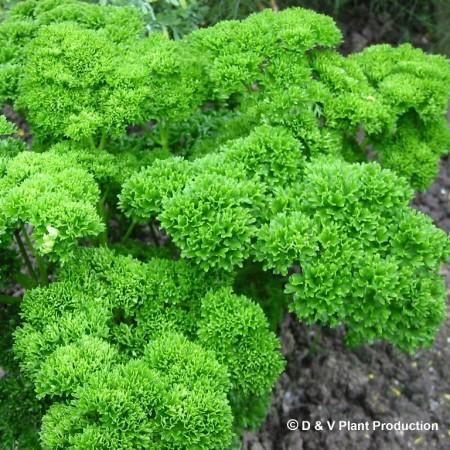 Petroselinum crispum 'Bravour' - moskrulpeterselie