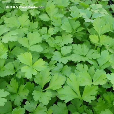 Petroselinum crispum 'Italian' - platte peterselie