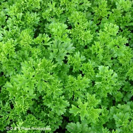 Petroselinum crispum - peterselie