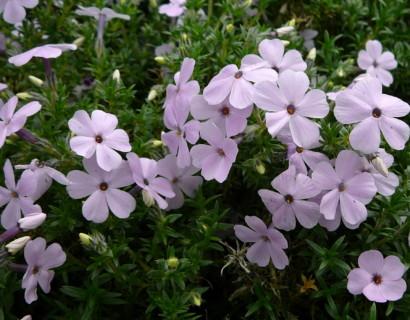 Phlox douglasii 'Lilac Cloud' - vlambloem