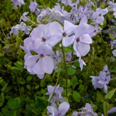 Phlox stolonifera 'Blue Ridge' - vlambloem